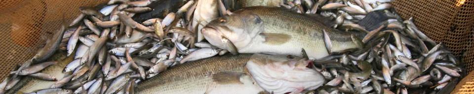 LMB bait fish 10 x 2