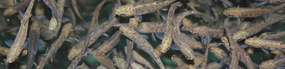 juvenile trout picture