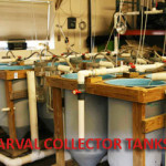 Larval Collector Tanks