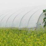 High tunnel mustards
