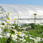 Habitat for beneficial insects surrounding a high tunnel at the KSU Research and Demonstration Farm.