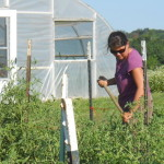 Weed management in tomatoes a the KSU Research and Demonstartion Farm.