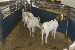 Animal Science of goats in a barn