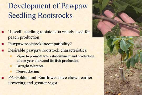 Development of Pawpaw Seedling Rootstocks