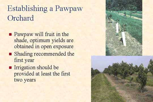 Establishing a Pawpaw Orchard - Picture of Slide 22