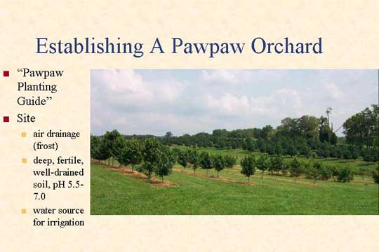 Establishing a Pawpaw Orchard - Picture of Slide 9