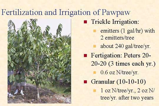 Fertilization and irrigation of pawpaw slide