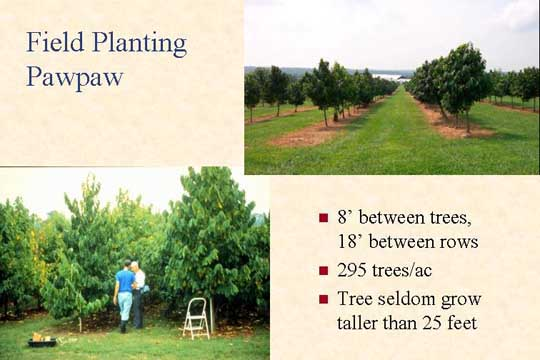 Field Planting Pawpaw - Picture of Slide 23