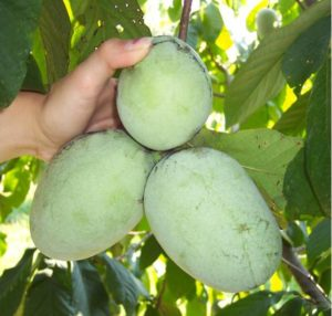 Picture of hand holding Pawpaws