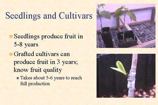Seedlings and Cultivars - Picture of Slide 11