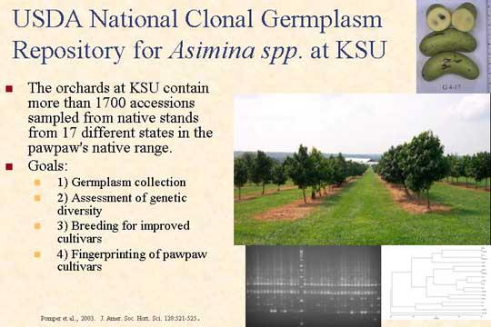 USDA National Clonal Germplasm Repository for Asimina spp. at KSU - Picture of Slide 4