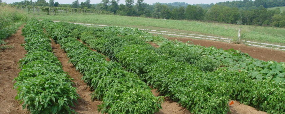 picture of a field with pepper plants
