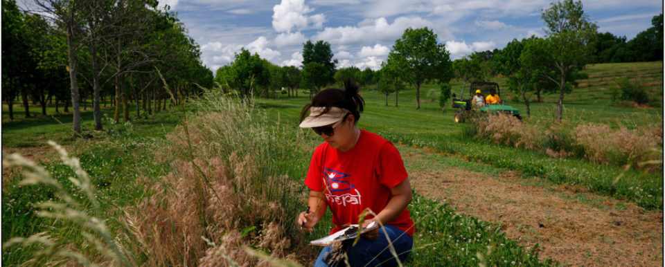 FRANKFORT, Ky., -- KYSU employee Srijana Thapa Magar checks Pawpaw saplings in a grove, Tuesday, May 29, 2018 at the Harold R. Benson Research and Demonstration Farm in FRANKFORT.