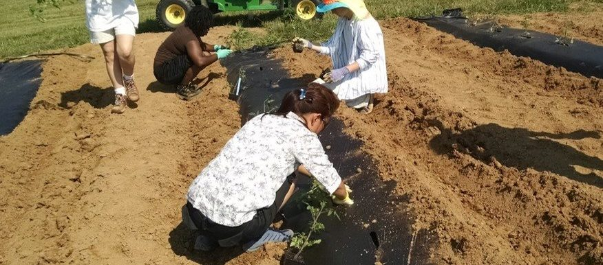 KSU Students planting plants in a trench