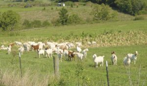 Goats in a field with a fence
