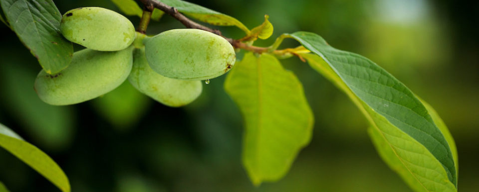 Picture of Pawpaws on a Pawpaw tree