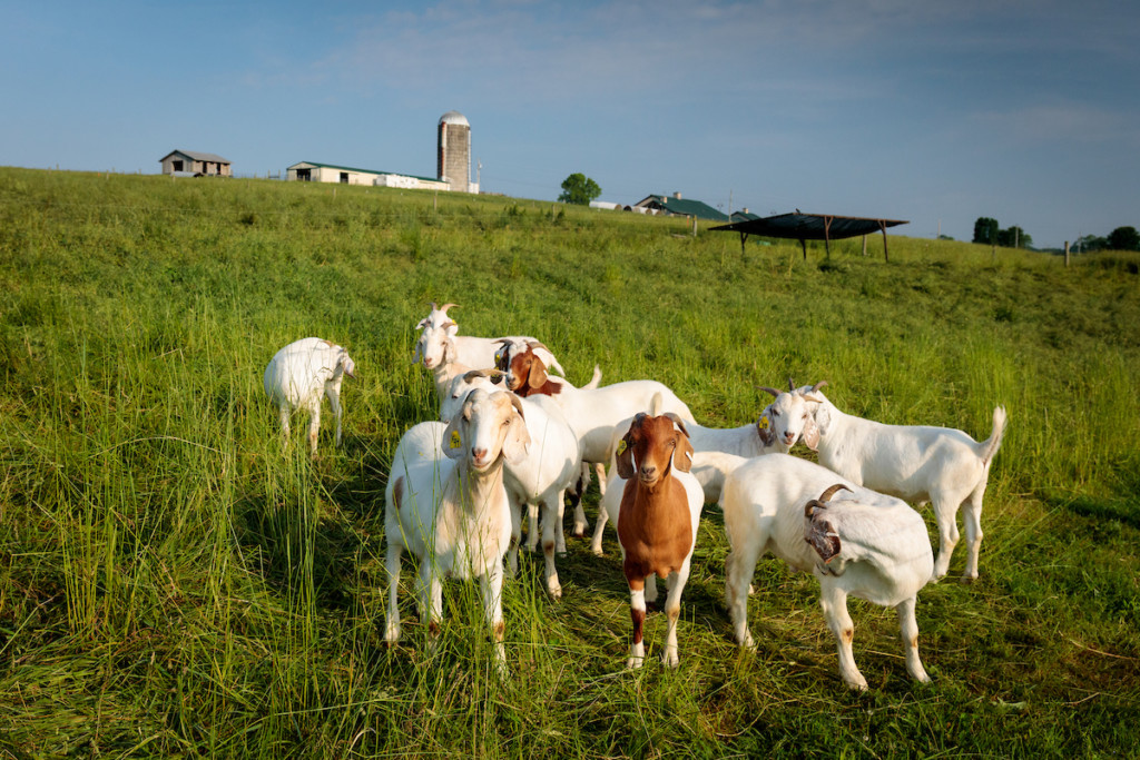 Picture of Benson Farm rotational grazing herd