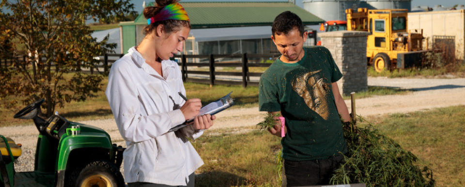 KYSU employees Blake Van Sanford, Kimberly Barmore and graduate student Arjun Chhetri along with Dr. Shawn Lucas harvest a field of CBD Hemp in the organic area, Thursday, Oct. 03, 2019 at the Harold R. Benson Research and Demonstration Farm in FRANKFORT. Harvesting the CBD Hemp involves cutting the hemp at the base of the plant, collecting the plants, weighing them and then hanging to dry.