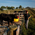 Megan McCoun makes her rounds in the morning checking and feeding cows at fence at Benson Farm